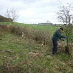 Hedgelaying at Warden Hill