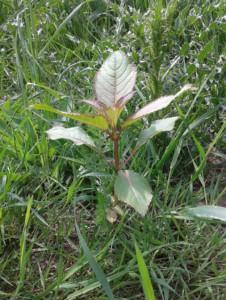 Himalayan balsam - leaves opposite on red/purplish, fleshy stem