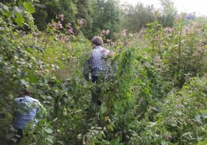 Hard at work pulling Himalayan balsam