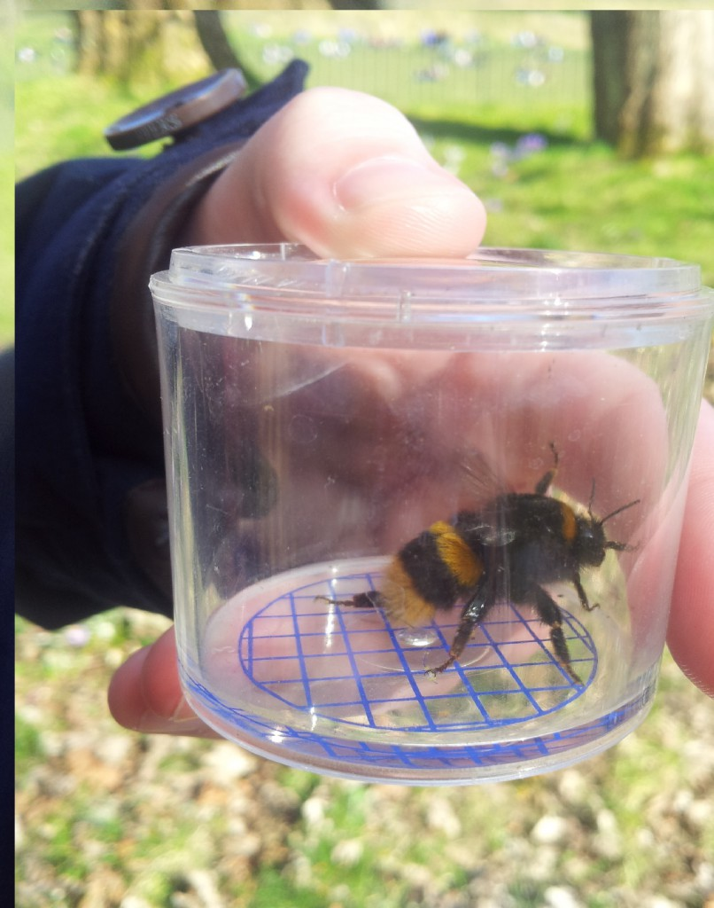 A queen buff tailed bumblebee