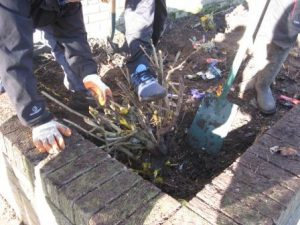 Digging out the raised beds with the pupils from Stewarton Academy