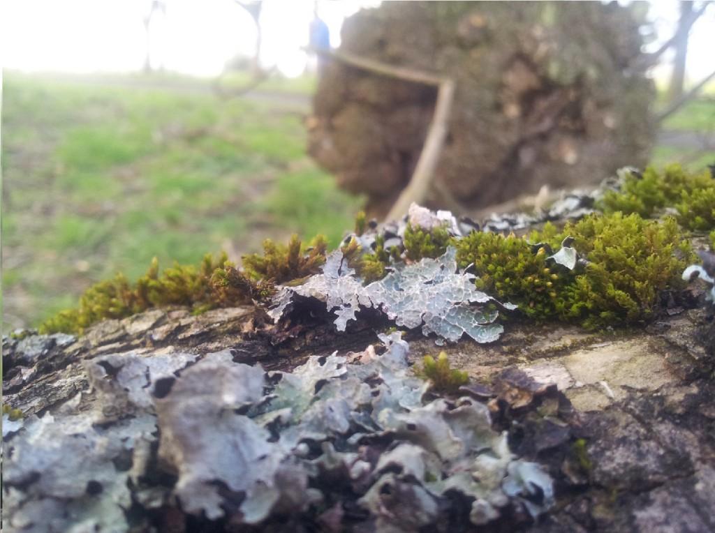 small lichen