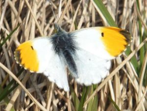 A male orange tip posing for a picture