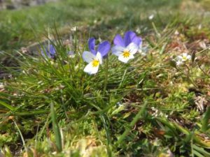 Wild pansies - no need for rewilding here
