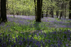 Bluebells to calm the mind