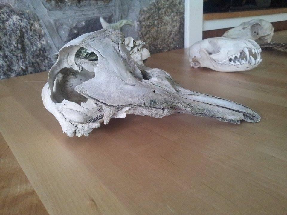 Tracking porpoise skull