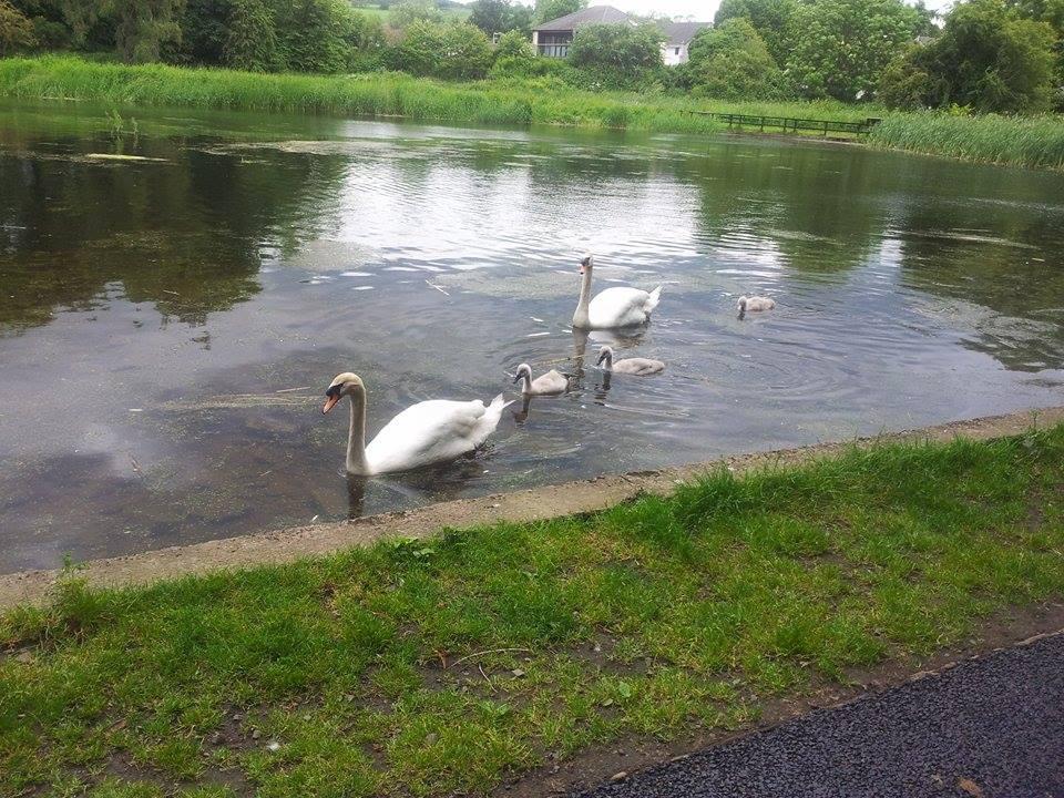 swans trottick