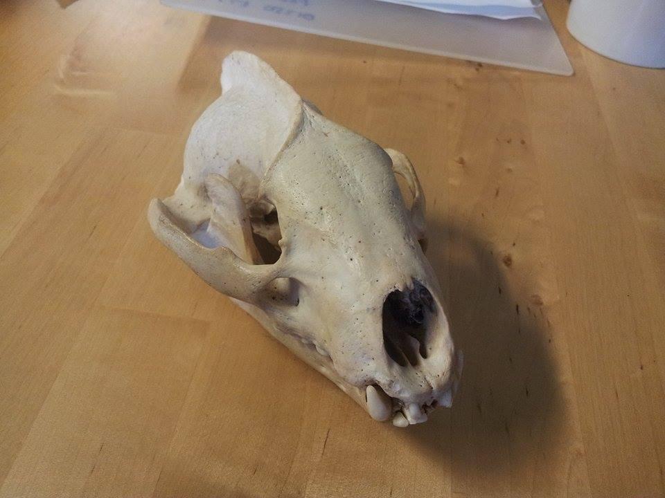 tracking badger skull