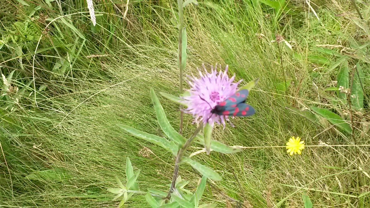 Six spotted burnet moth found on knapweed located at the bog