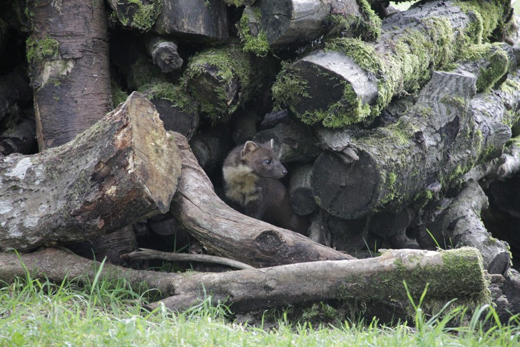 A wee visitor to the log pile at Kindrogan