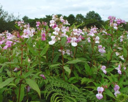 himalayan balsam was one of the Invasive speciesdeiscussed at the conference