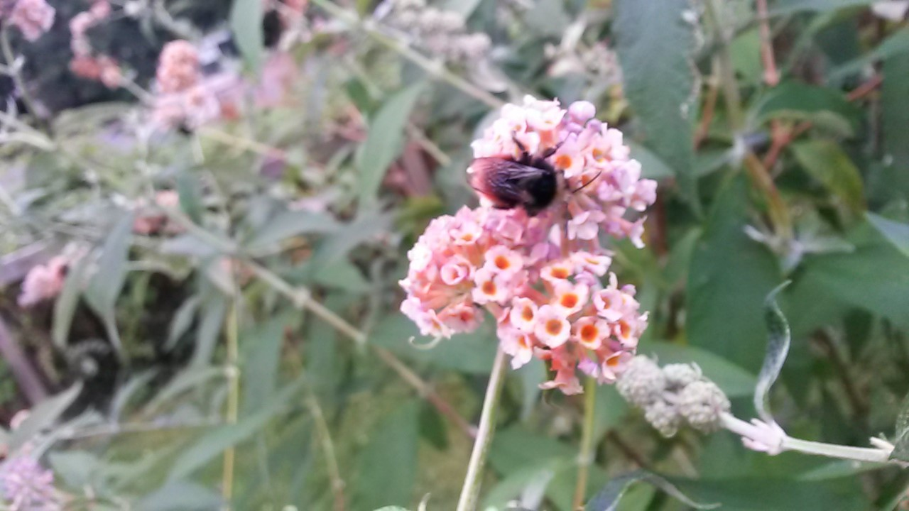 A blaeberry bumblebee I spotted during my woodland leader training