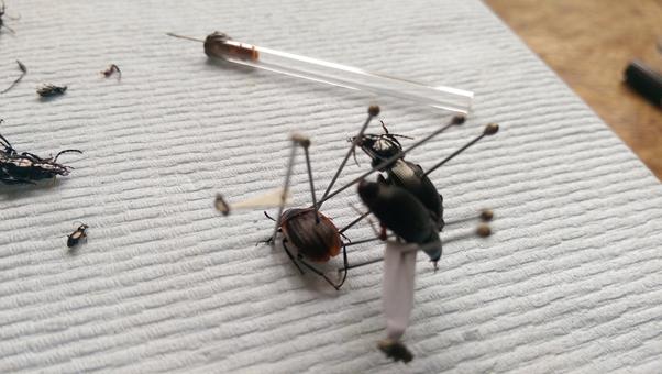 pinning specimens