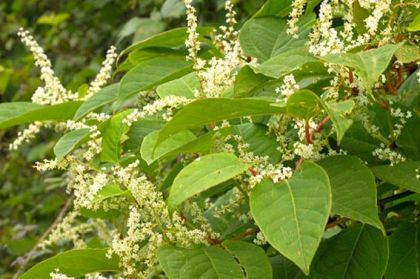 """the effect of the japanese knotweed on balance of the ecosystem Japanese knotweed,  """"i believe i was not an evil man, until the balance of my mind was disturbed by the fact there is a patch of japanese knotweed which has been growing over our boundary ."""