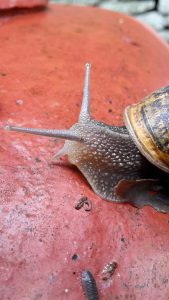 Classic land snail Cornu aspersa (Common garden snail). Can you see the eye at the tip of its second set of tentacles?