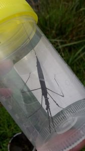 More amazing wildlife: a Water Stick-insect caught at Magor Marsh