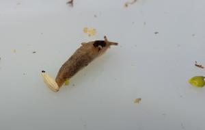 Netted Field Slug Deroceras reticulatum sucked up by the suction sampler
