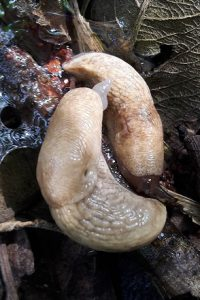A pair of Netted Filed Slugs Deroceras reticulatum showing some dark speckling characteristic of the species.