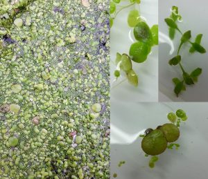 A mixture of duckweeds from Magor Marsh, Fat Duckweed (Top L), Ivy Leaved Duckweed (Top R), Greater Duckweed (Bottom)