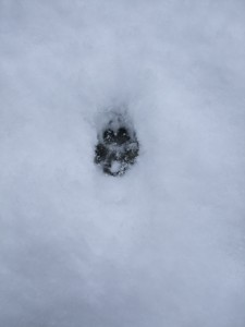 Fox print? in the snow