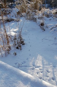 Lots of animal tracks in the snow