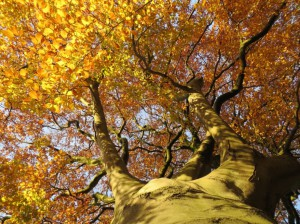 Looking up at autumn Beech