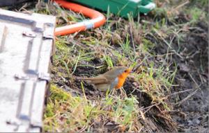 Photograph of Robin