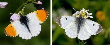 orange tip butterfly
