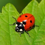 Citizen Science – iRecord Ladybirds