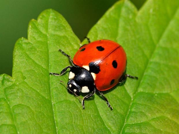 Citizen Science Irecord Ladybirds
