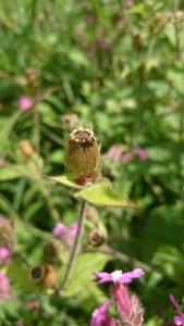 Campion seed pod blog