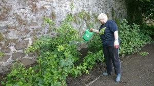 Comfrey watering blog