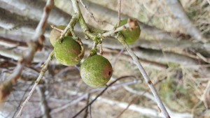 The galls we found