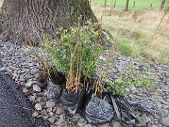 A bundle of hedgerow trees waiting to be planted