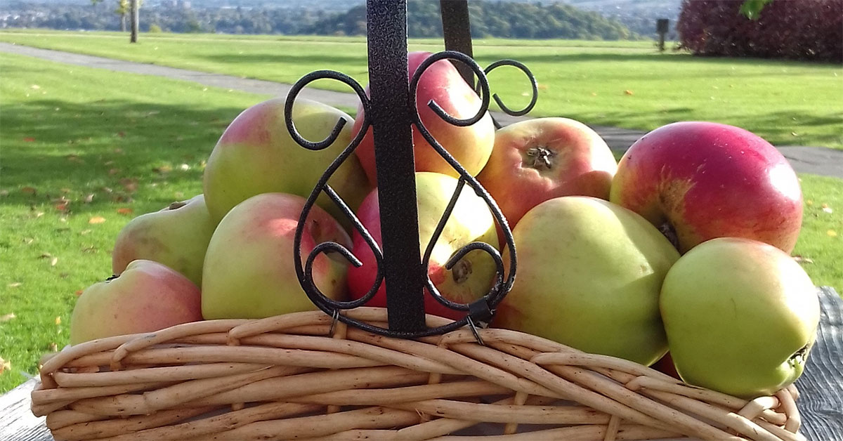 A basket of ripe apples