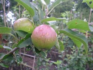 "Apple, grown at the tree nursery ""Tree Life Centre"", Bristol"