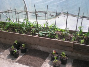 Polytunnel, Plants, Tomatoes, Tree Nursery, Bristol, Tree Life Centre, Kingswood