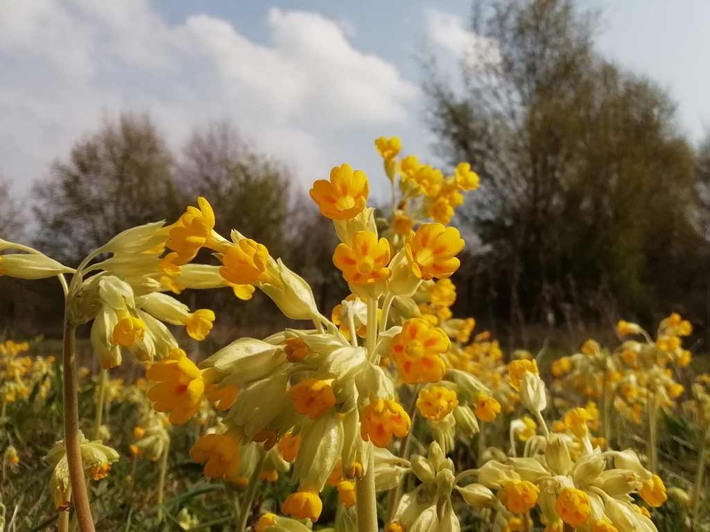 Cowslip in full bloom