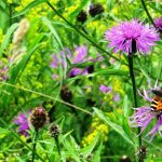 Small tortoiseshell butterfly on knapweed