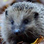 HogWatch Scotland hedghog