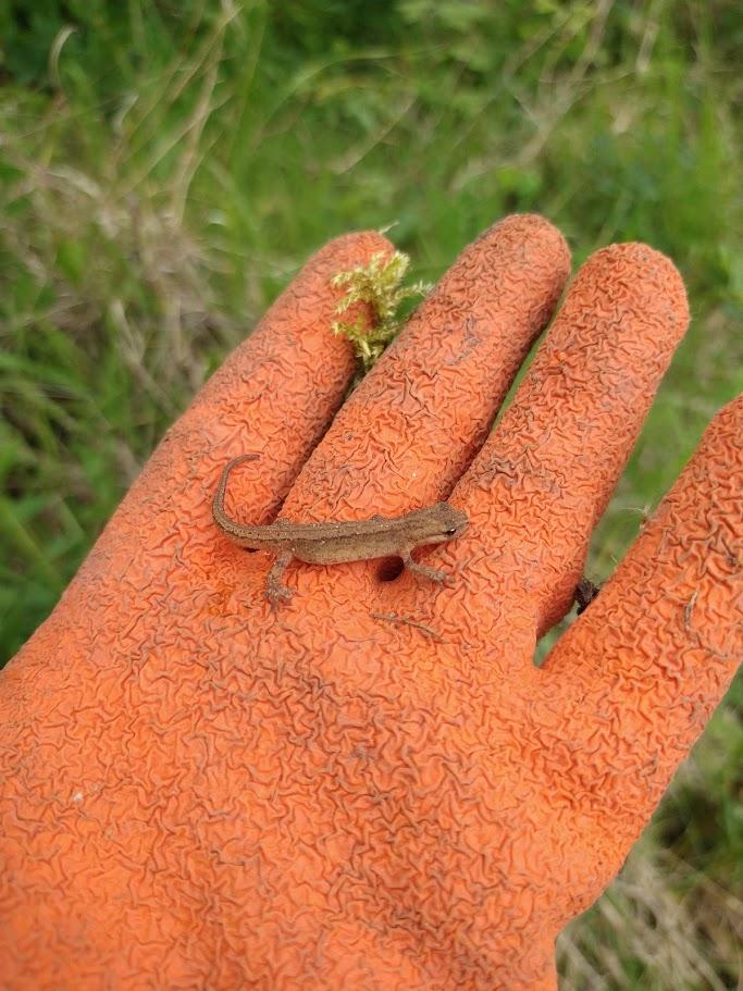 Newt on an orange glove